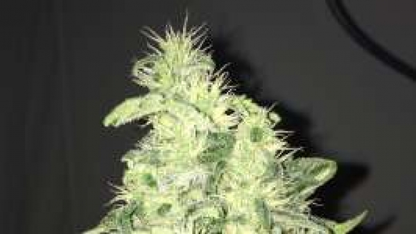 Supreme CBD Kush Feminised Cannabis Seeds | Nirvana