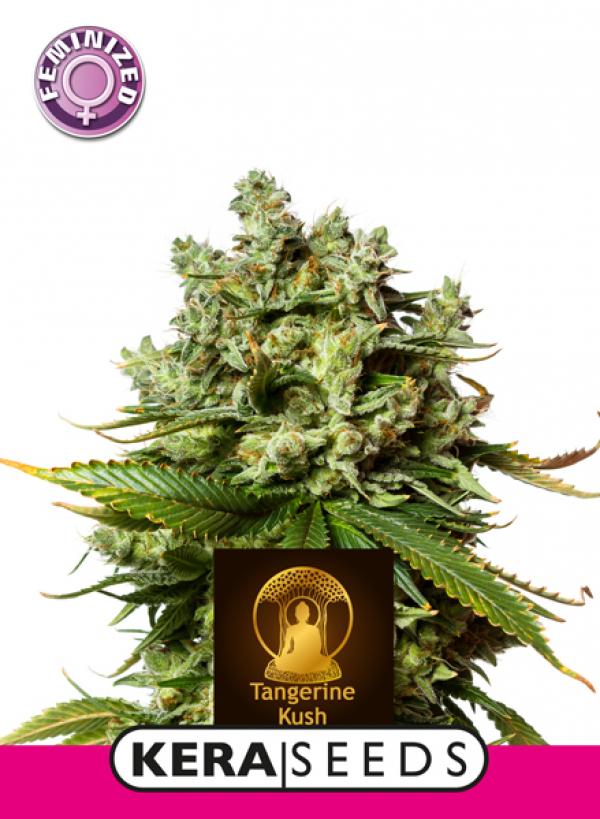 Tangerine Kush Feminised Cannabis Seeds | Kera Seeds