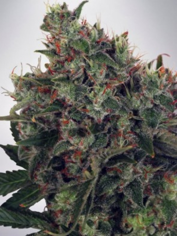 Ultra White Amnesia Feminised Cannabis Seeds | Ministry of Cannabis