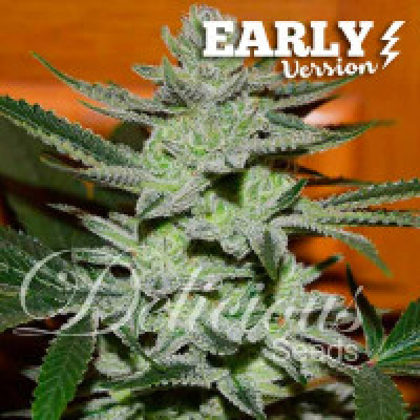 Unknown Kush Early Version  Feminised Cannabis Seeds | Delicious Seeds