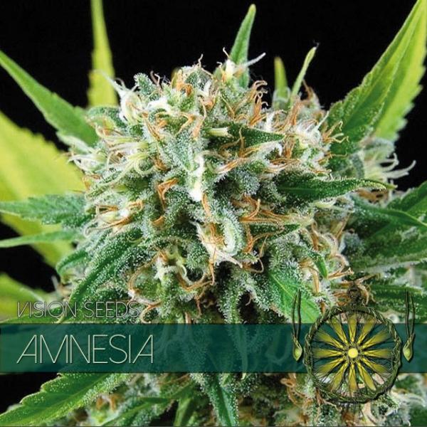 Amnesia Feminised Cannabis Seeds | Vision Seeds