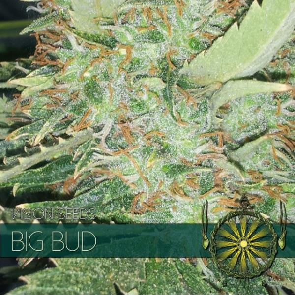 Big Bud Feminised Cannabis Seeds | Vision Seeds