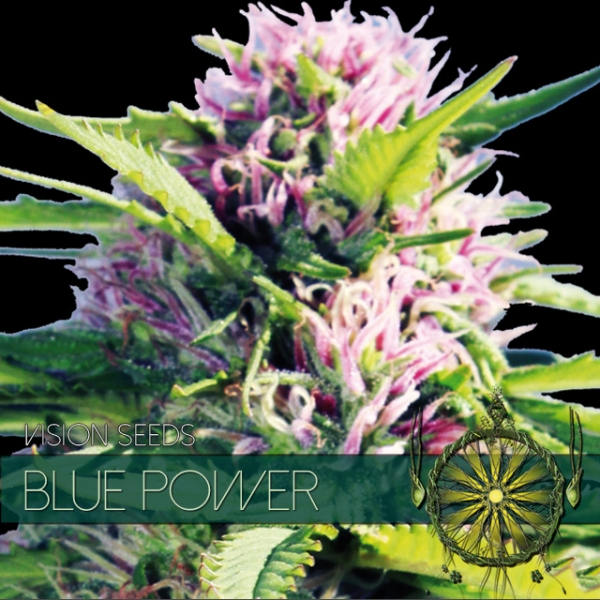 Blue Power Feminised Cannabis Seeds | Vision Seeds