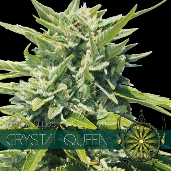 Crystal Queen Feminised Cannabis Seeds | Vision Seeds