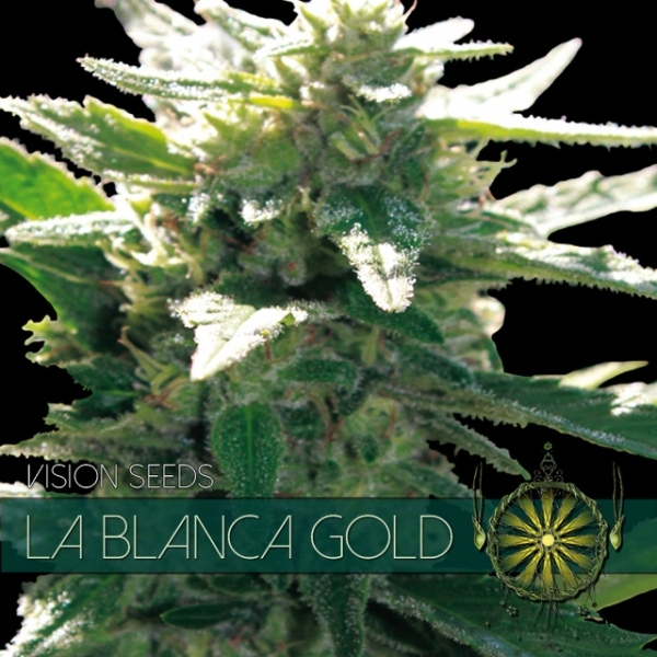 La Blanca Gold Feminised Cannabis Seeds   Vision Seeds