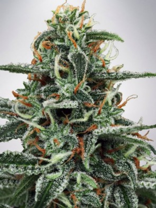 White Widow Feminised Cannabis Seeds | Ministry of Cannabis