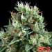White Widow - Discount Cannabis Seeds