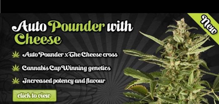 Auto Seeds | Auto Pounder with Cheese | Discount Cannabis Seeds