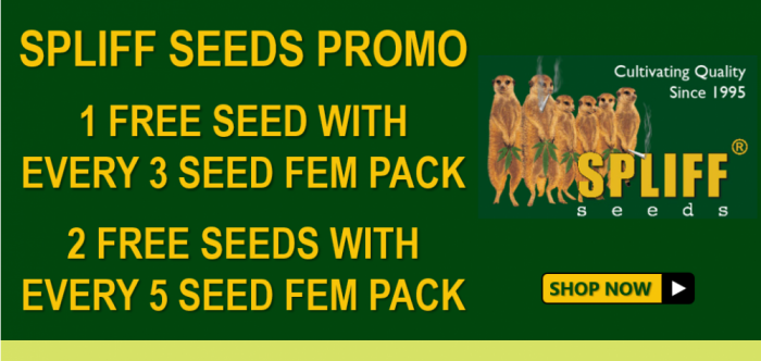 Spliff Seeds - Discount Cannabis Seeds