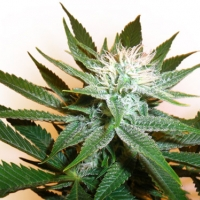Grapefruit Diesel Regular Cannabis Seeds | Next Generation Seeds