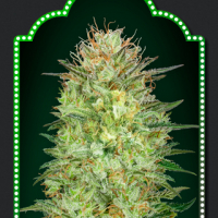 Auto Sweet Critical Feminised Cannabis Seeds | OO Seeds