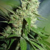 Jack Herer Feminised Cannabis Seeds