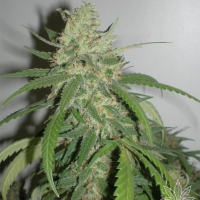 SPR Haze Feminised Cannabis Seeds