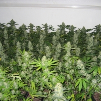 Master Kush Feminised Cannabis Seeds