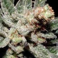 G13 Haze x Amethyst Bud Regular Cannabis Seeds | Soma Seeds