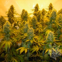 Top 44 Feminised Cannabis Seeds