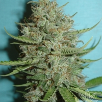 Super Crystal Feminised Cannabis Seeds
