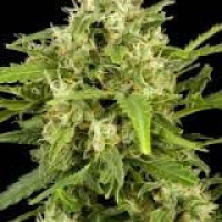 Super Early Auto Feminised Cannabis Seeds