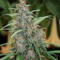 Fast N' Glorious Regular Cannabis Seeds | Mandala Seeds
