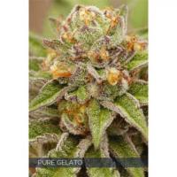 Pure Gelato Feminised Cannabis Seeds | Vision Seeds