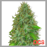Heavyweight Seeds 2 Fast 2 Vast Auto Feminised Cannabis Seeds