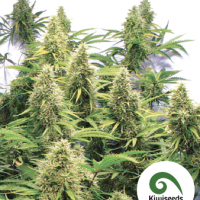 2 Pounder Feminised Cannabis Seeds | Kiwi Seeds