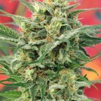 8 Miles High Regular Cannabis Seeds