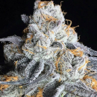 Crystal Gelato Feminised Cannabis Seeds | Big Head Seeds