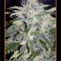 24 Carat Auto Feminised Cannabis Seeds