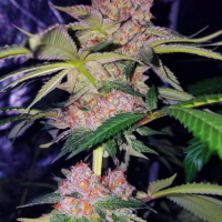Mimosa Champagne Feminised Cannabis Seeds | Female Seeds