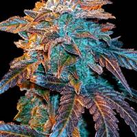 Auto Gelato Feminised Cannabis Seeds | Female Seeds