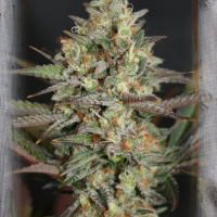Kush Mass Feminised Cannabis Seeds | Garden of Green