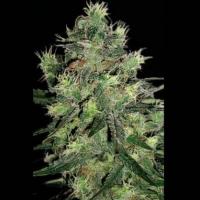 Midnite Blue Feminised Cannabis Seeds | Sagarmatha Seeds