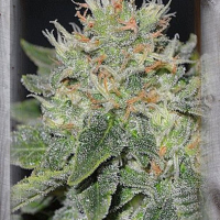 Super Skunk Kush Feminised Cannabis Seeds | Garden of Green