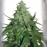 Super Skunk Auto Feminised Cannabis Seeds | Garden of Green