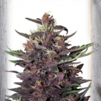 Violet Kush Auto Feminised Cannabis Seeds | Garden of Green