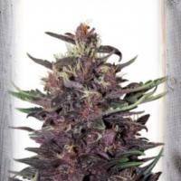 Violet Kush Auto Feminised Cannabis Seeds | Garden of Green