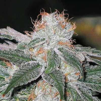 Dubble Bubble Feminised Cannabis Seeds | Garden of Green
