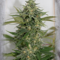 Amnesia Lemon Pie Feminised Cannabis Seeds | Garden of Green