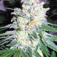 Diesel Berry Cough Feminised Cannabis Seeds | Garden of Green