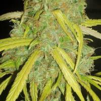 Pineapple Amnesia Feminised Cannabis Seeds | Garden of Green