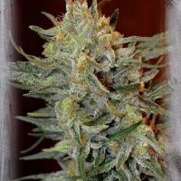 Amnesia Lemon Kush Feminised Cannabis Seeds   Garden of Green