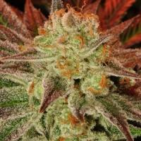 Carnage Feminised Cannabis Seeds   710 Genetics Seeds