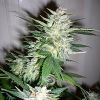 Super Shark Feminised Cannabis Seeds   710 Genetics Seeds
