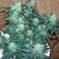 Super Stinky Feminised Cannabis Seeds   710 Genetics Seeds
