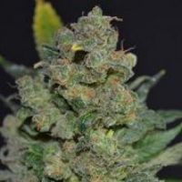 Mouse Feminised Cannabis Seeds (AKA Cheese) | 710 Genetics