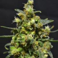 Shellshock Feminised Cannabis Seeds   710 Genetics Seeds