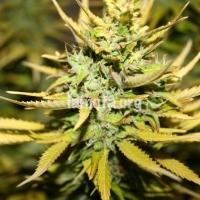 Smog Feminised Cannabis Seeds   710 Genetics Seeds