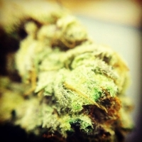 710 GeneticsTropical OG Feminised Cannabis Seeds