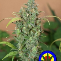 Auto AK47 Feminised Cannabis Seeds | Next Generation Seeds